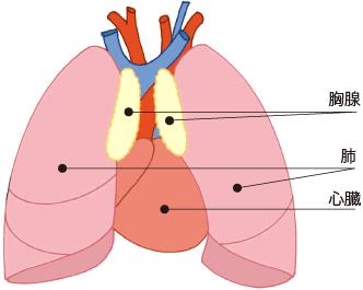 胸腺異常の挿絵